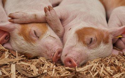 Offre emploi Aide porcher